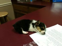 A corgi puppy fell asleep at a vet's office. Awww.
