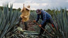 La fiebre internacional por el tequila amenaza con agotar sus reservas | El Puntero
