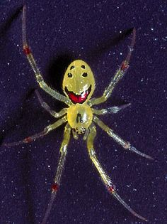 Happy Face Spider....yep, it's real! and the smile has two front teeth...Santa was good to him last year...HAHAHA