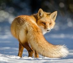 belle-faune: Over The Tail par Darion Jackman