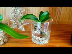 Fertilizing tips for orchids in full water culture. Fertilizing tips for orchids in full water cultu Water Culture Orchids, Orchids In Water, Indoor Orchids, Water Plants, Orchid Plant Care, Orchid Plants, Baby Orchid, Orchid Fertilizer, Orchid Seeds