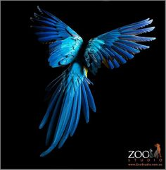 and Gold Macaw, in flight, feather detail wing span, tail - Zoo Studios: Animal Art Photography Tropical Birds, Exotic Birds, Colorful Birds, Beautiful Birds, Animals Beautiful, Blue Gold Macaw, Animals And Pets, Cute Animals, Bird Wings