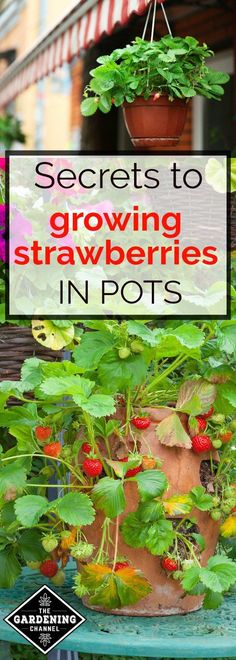 How to grow strawberries in containers.  Learn the best way to grow strawberry plants in pots.  Learn the tips for how to add these gems to your container garden.