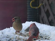 Male and Female Cardinals  Feeding Together.