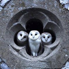 One day I shall have a house with an owlery :3