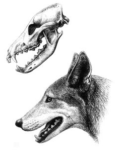 Visualization of Canis etruscus by Mauricio Antón