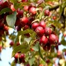 Crabapple Trees - Wildlife Tree & Apple Tree Pollinator - Willis Orchard Company