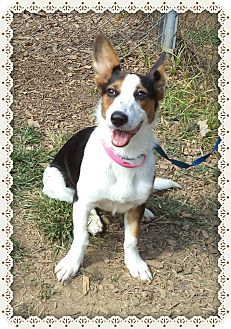 Act quickly to adopt TUESDAY. Pets at this Shelter may be held for only a short time. Marietta, GA - Welsh Corgi Mix. Meet TUESDAY a Dog for Adoption.
