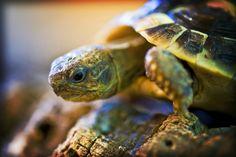 Hermann's tortoise at Northampton Reptile Centre