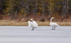 Joutsenet jäällä Photo and Copyright: Tapani Uusikylä