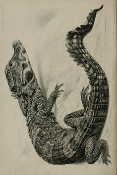 Crocodile from Old Calabar River, West Africa. Proceedings of the Zoological Society of London, 1862.