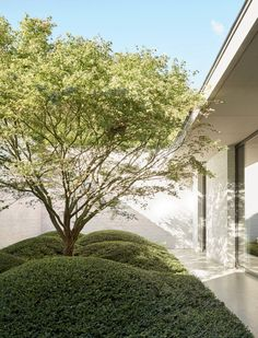 In one of the internal courtyards, a Japanese maple is underplanted with cloud-pruned [i]Lonicera nitida[/i] 'Maigrün'.