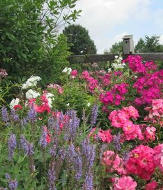 Late bloomers in the garden include Salvia 'May Night', Volcano phlox 'White' and 'Ruby' and Flower Carpet 'Pink Supreme'