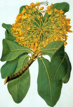 This illustration of the Deplanchea tetraphylla, commonly known as the Golden Bouquet tree, is a small tree native to Australia. It was drawn and partially painted by Sydney Parkinson (ca.1745–1771) on the first Endeavor voyage with Captain James Cook. Parkinson died of dysentery January 26, 1771 and was buried at sea. The drawing was completed in London by John Frederick Miller