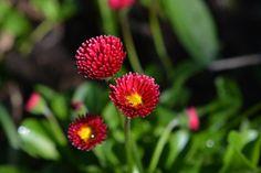 Bellis | Vesan viherpiperryskuvat – puutarha kukkii