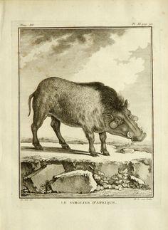 1771 Antique print of a RAZORBACK. WILD BOAR. by AntiquePrintsOnly
