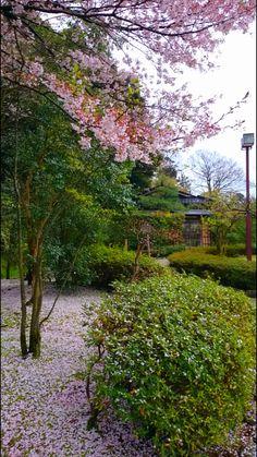 Fallen cherry blossoms in front of Koun-an of Nakamura Memorial Museum, Honda-machi, Kanazawa, Japan