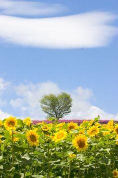 Sunflower field, Furano, Hokkaido, Japan