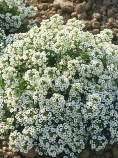 Alyssum-full sun/shade, well drained soil, fragrant, attracts bees