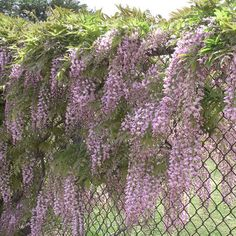 Chain Link Fence Beautified