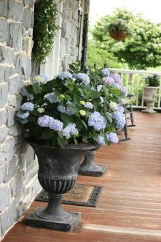 Hydrangeas in pots/ I have two of these I have to put in the ground.....this weekend