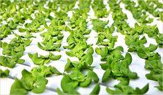 Hydroponics Can Provide You With A Secret Survival Garden.Read whole post.