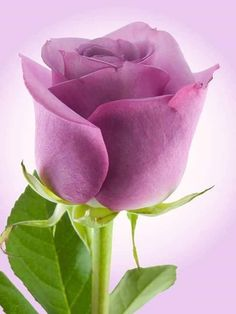 Photo about Purple rose photographed on a light purple background. Image of purple, gift, rose - 5035187 Flowers Gif, Beautiful Rose Flowers, Amazing Flowers, Pretty Flowers, Beautiful Gif, Lavender Roses, Purple Roses, Beau Gif, Rose Violette