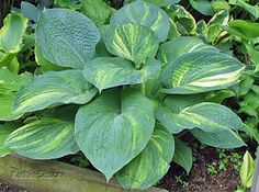 'BOB AXMEAR' hosta. It has all the good qualities of 'Dorothy Benedict' and none of the bad.