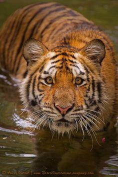 Siberian/Amur Tiger  (by Ashley Vincent)