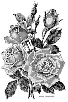 Roses. Vintage illustration., From the gallery : Flowers And Vegetation