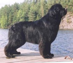 Newfoundland Dog- This sea horse has true lifesaving instincts in the water and can swim long distances, even in icy water. On land he can track and pull. He is a sweet, trainable, active family dog