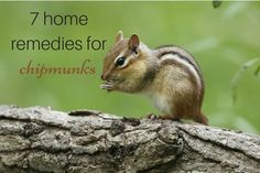 Home Remedies for Getting Rid of Chipmunks