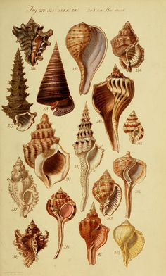 https://flic.kr/p/e1wbet | n214_w1150 | A conchological manual. First Edition. /. London :G.B. Sowerby,1839.. biodiversitylibrary.org/page/27458208