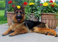 Mittelwest is a German Shepherd breeder of pure bred German Shepherd puppies. #mittlewest #germanshepherd