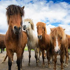 Horse in Iceland - four curious and friendly icelandic horses watching what's…