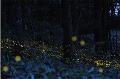 Japanese Fireflies - Blue