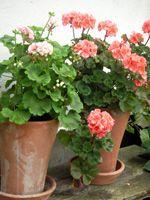 pots for Pelargons