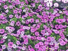 Sennetti These daisy- like flowers give a great splash of color to the garden and are perfect for pots and borders.   The flowers come in impressive hues of magenta, blues, and lavenders.  Each plant becomes covered with daisy-like flowers in stunningly vivid hues of magenta, blue and lavender.  They are safe to place outside once night frosts have passed and are perfect plants to pop into your garden or in containers to bridge the gap