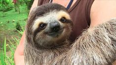 I made this video for www.vice.com, Vice magazine's brilliant online channel. It was shot at the Aviarios Sloth sanctuary in Costa Rica: www.slothrescue.org. For more of my sloth photos and videos visit www.slothville.com  To watch more amazing Cute Shows on everything from hedgehogs to weiner dogs visit www.vice.com