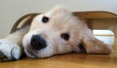 splashduck collection of cute adorable animal pictures and related websites. Wilson the Golden Retriever