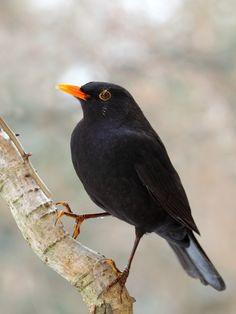 European Blackbird (turdus merula). Image courtesy of IbajaUsap / shutterstock