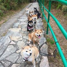 Longest row of wow. No filter. Follow @9gag @9gagmobile #9gag #shibainu #kuroshiba #doge #cute (cr: @zero.mika)