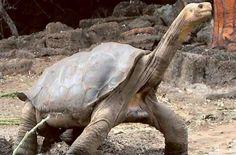 Lonesome George, the last Pinta Island tortoise the world has ever seen.