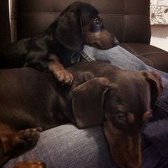 Dachsunds. This looks like Baron and Frankie!