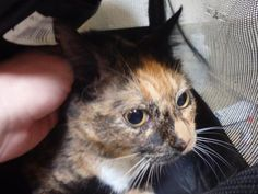 Adopted! Pretty Patchy is a super-sweet 1-year-old girl. She loves to be stroked and held and is very affectionate in return. This loving little girl has been at Fairfax County Animal Shelter since September 27, 2014 and is eagerly anticipating meeting her new forever family.
