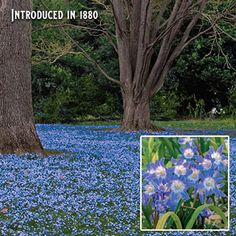 Transition your garden into spring with the sweet, sky blue flowers of Early Snow Glories, which pop up as winter's final snows are fading. Blue Flowers, Plants, Partial Shade Flowers, Planting Flowers, Bulbous Plants, Organic Gardening Tips, Winter Garden, Summer Plants, Flower Landscape