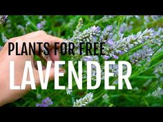 Instructions on how to propagate lavender from cuttings. Works for all types of lavender and cuttings from new or semi-hard wood. Full DIY video included