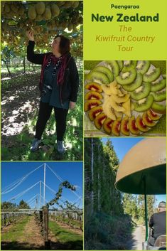 This tour of a fully operational kiwi fruit plantation will entertain and teach you about all that goes into creating kiwi fruit and the industry. This is a lot more than just a farm. Backpacking Europe, Visit Australia, Australia Travel, North Island New Zealand, New Zealand Holidays, New Zealand Travel, Travel Inspiration, Travel Ideas, Travel Guide