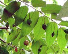 Muntingia Calabura-920713-02