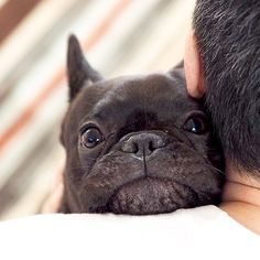 """""""That face when you know you're Dad loves you, but he's squeezing you a little too tight"""", Theo, the French Bulldog ❤❤ hokus_theo on Instagram"""